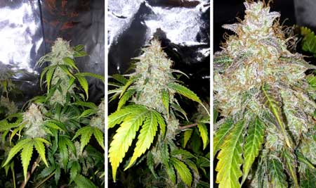 Example of marijuana buds grown under a GalaxyHydro 300W LED grow light