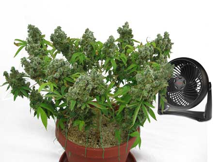 Blow fan over the top of your growing medium to help combat fungus gnats