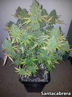 Fastbud #2 auto cannabis strain - Plant #2