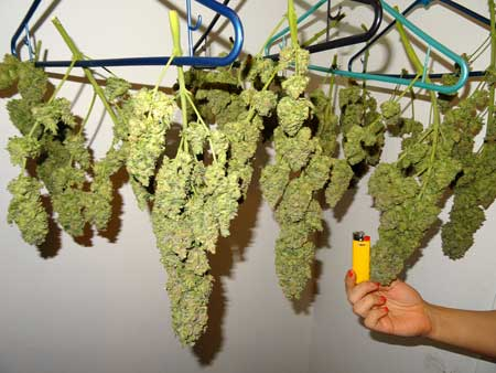 "This weed plant was harvested, trimmed while wet, and hung to dry. A ""wet trim"" often results in nicer looking marijuana buds."