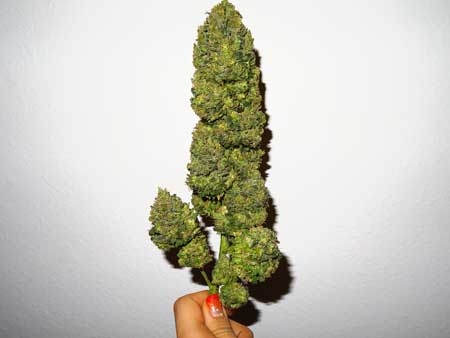 A bud that has been trimmed