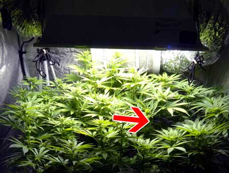 When training cannabis, fill in any empty spots you see in the canopy