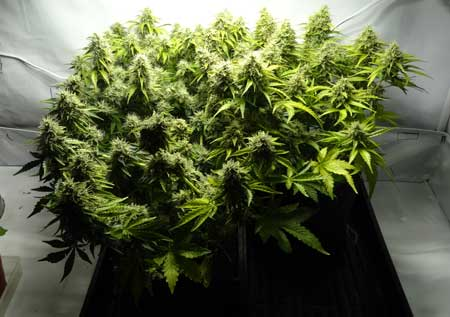 This cannabis was trained to grow flat in the vegetative stage, which results in bigger buds in the flowering stage!
