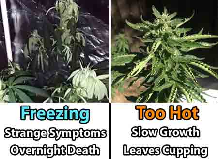 Cannabis plants don't like too hot or too cold temperatures