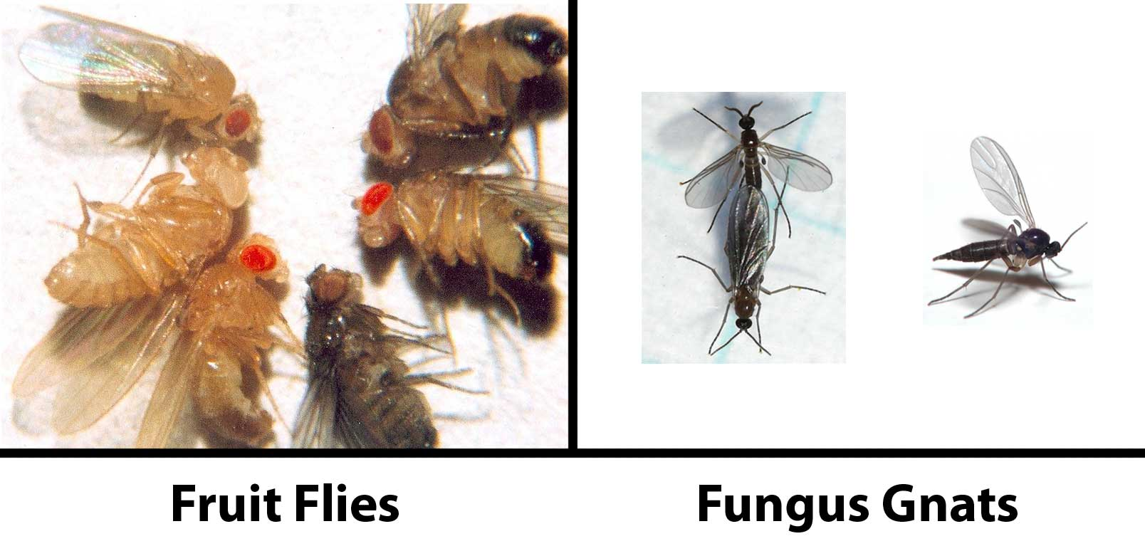 Fungus gnats vs fruit flies