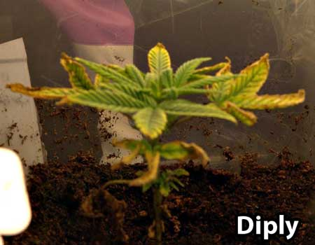Young cannabis plant - brown tips and yellowing leaves caused by fungus gnats