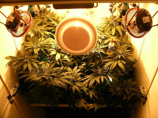 Close-up of cannabis growing in the stealth cabinet - White Widow