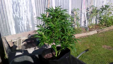 Example of an outdoor cannabis plant from Australia