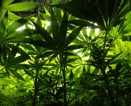 Green lush cannabis leaves. For your plants, looking up at the grow light is like looking up at the sun!