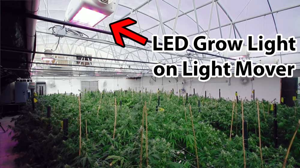 Ex&le of growing cannabis plants in a greenhouse. The light from the sun has been & Do My Cannabis Plants Need Side Lighting? | Grow Weed Easy