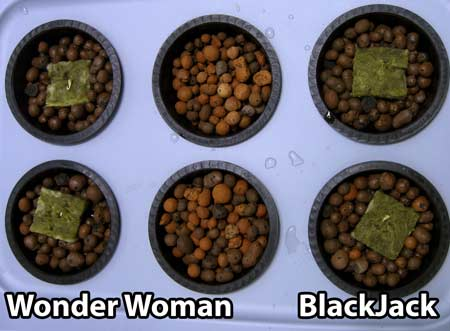 Sprouted feminized cannabis seeds were placed in DWC hydroponic system on June 17, 2013