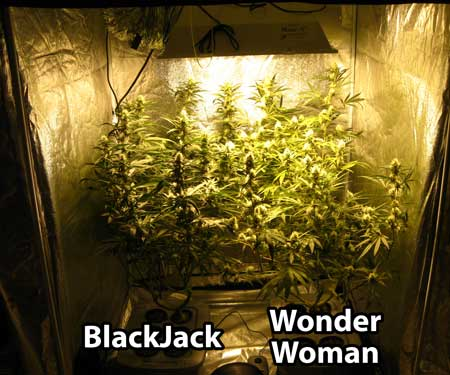 Two cannabis plants grown in top-fed DWC in 600W grow tent