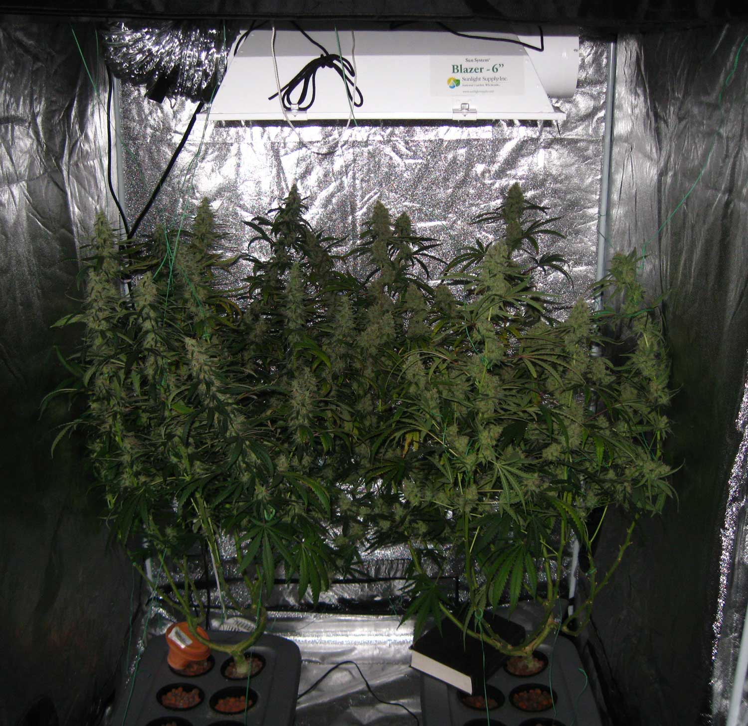 The cannabis plants after theyu0027ve been tied up - the heavy colas are now & 600W Hydroponic Grow Journal - 23.09 oz Harvest! | Grow Weed Easy