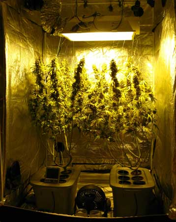 A view of the cannabis grow tent on harvest day!