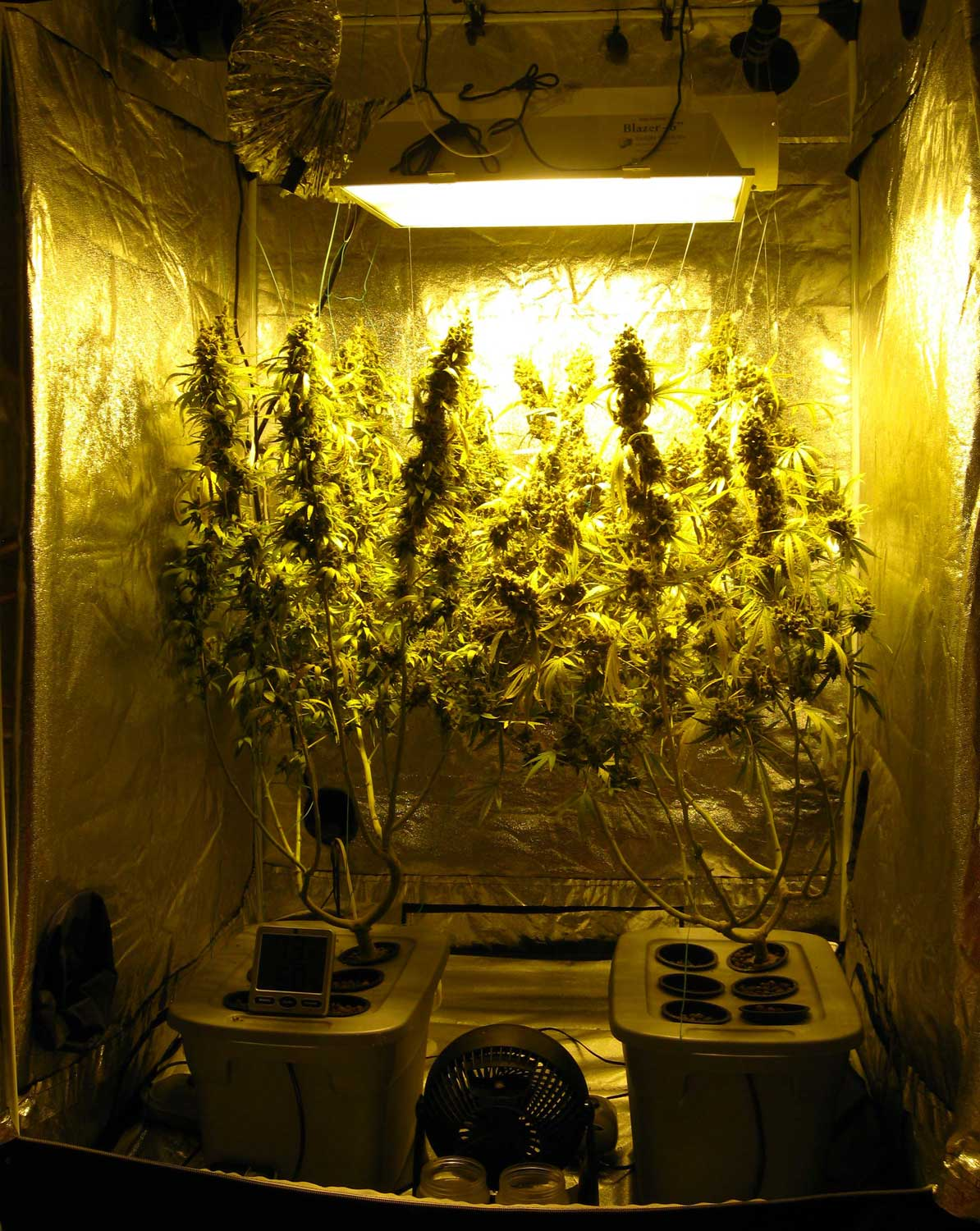 A view of the cannabis grow tent on harvest day! & 600W Hydroponic Grow Journal - 23.09 oz Harvest! | Grow Weed Easy
