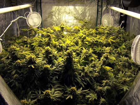 Example of a room full of cannabis colas growing under an HPS grow light