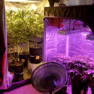 Example of a cannabis tent with an HPS, and another with an LED grow light
