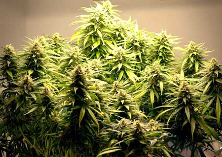 Beautiful marijuana buds that have been kept short with Low Stress Training (LST)