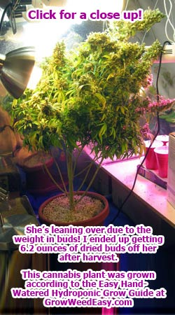 This cannabis was grown under CFLs, she's started falling over due to the weight of her buds