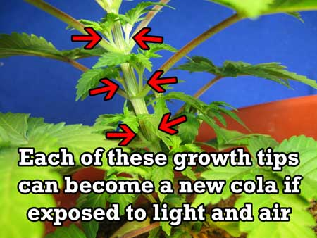 Each of these marijuana growth tips can become a cola