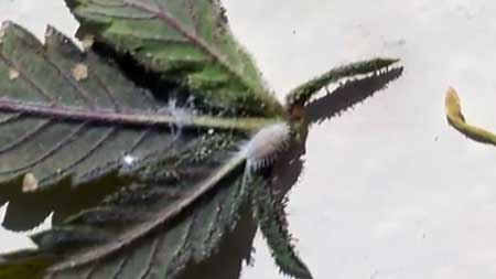 Hairy white mealy bug crawling on a cannabis leaf