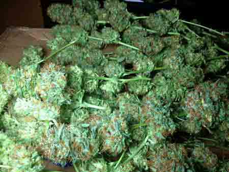 A happy cannabis harvest - look at all that beautiful bud, just waiting to be enjoyed!