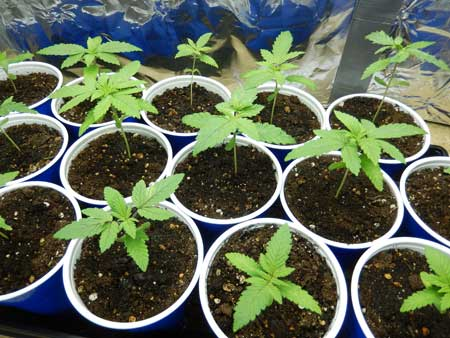 Happy marijuana seedlings in solo cups, just about ready for transplant