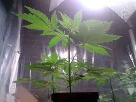 A happy cannabis plant in the vegetative stage
