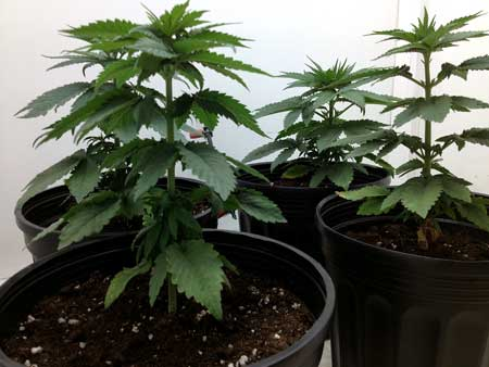 These happy weed plants were just transplanted into their new containers!