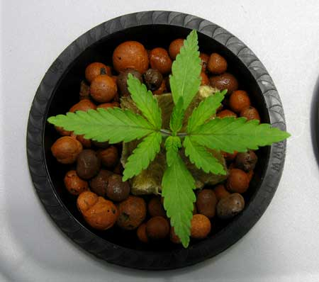 Healthy young cannabis plant in hydro