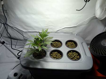 Young happy vegetative cannabis plant in DWC setup