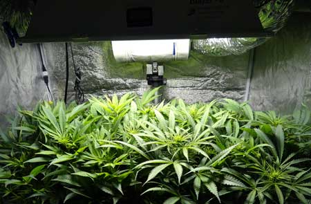 Example of a vegetative cannabis plant growing under a grow light