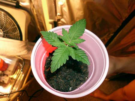 This happy little cannabis plant in a solo cup is just about ready to be transplanted to a bigger container