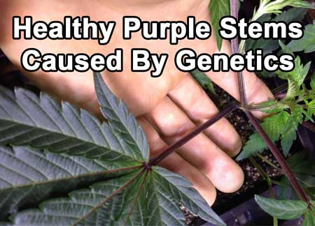 Example of a healthy weed plant with purple stems that have been caused by genetics, not a nutrient deficiency.