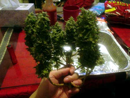 Small topped plant at harvest day - view from side so you can see how it was LST'ed