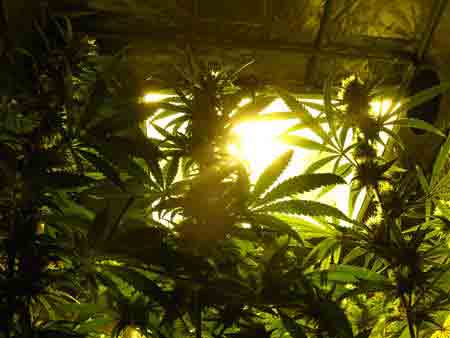 Looking up at HPS grow lights through the cannabis canopy - marijuana plants LOVE lots of light