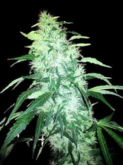 Cannabis plants in the flowering stage prefer lower humidity and a comfortable room temperature - not too hot!
