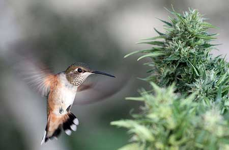 Apparently hummingbirds like marijuana plants :)