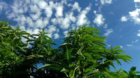 Example of beautiful outdoor cannabis plants looking up at the sky
