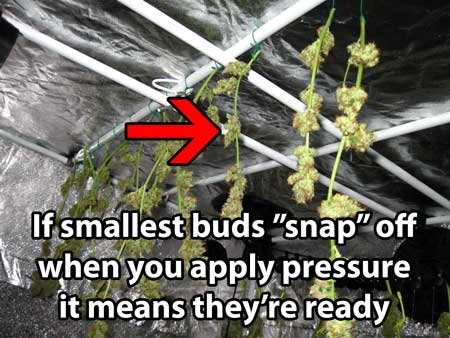 Cannabis buds are done drying when the buds snap off instead of leaving strings behind