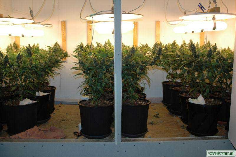 magnetic induction grow lights can be used to grow marijuana but not bulbs