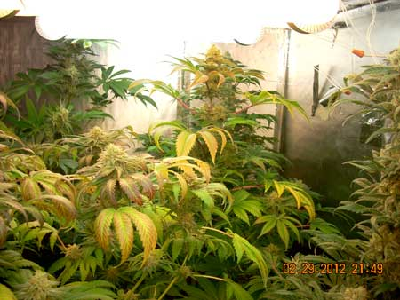 Magnetic induction grow lights are effective for flowering marijuana plants, as shown here
