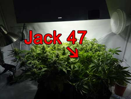 The auto-flowering Jack 47 cannabis plant just before it got tossed because it didn't auto