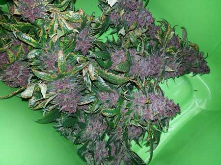 Newly harvested purple buds from cannabis plant grown under the Kind K3 L250 LED grow light