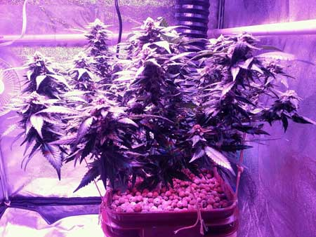 Marijuana plant growing under the Kind K3 L450 LED grow light