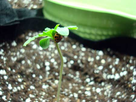 Picture of a lady bug perched on the cotyledon leaves of a young cannabis seedling