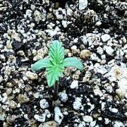Marijuana seedling showing its first two sets of leaves