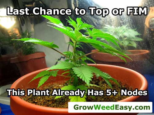 This plant is almost too tall / mature to top or FIM. This is your last chance, do it now! :)