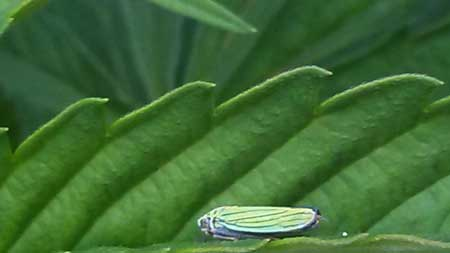 This leafhopper bug on a cannabis leaf is a pest! Learn how to get rid of them in this tutorial!