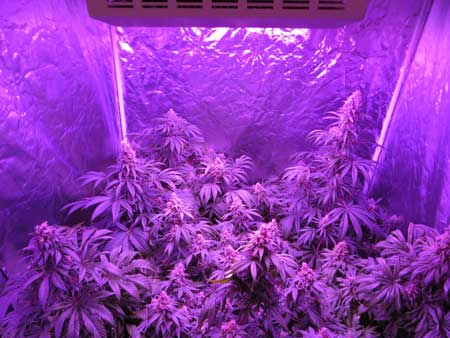 "LED grow lights usually need to be kept 18"" or more above your plants in order to prevent bleaching and light burn"